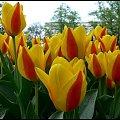 #wiosna #Wiosna2011 #Łazienki #kwiaty #tulipany