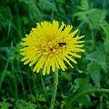 robak #robaczek #mlecz #przyroda #kwiat #roślina #wiosna