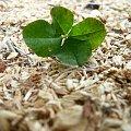 szczęście.? #końiczyna #CzterlistnaKońiczynka #trociny #zieleń