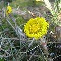 #kwiatek #wiosna #żółty #trawa