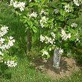 #DrzewkoOwocowe #jabłoń