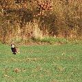 #zając #natura #łąka #las #pole
